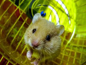 Rodent Husbandry and Care - VeterinaryPartner com - a VIN